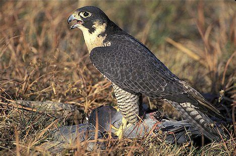 All About Animal Wildlife: Peregrine Falcon Few Facts and