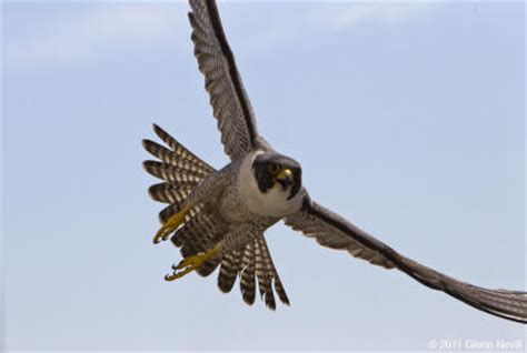 Peregrine Falcon :: Los Padres ForestWatch