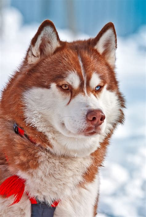 The Red Husky - Breed Facts And Complete Guide - Animal Corner